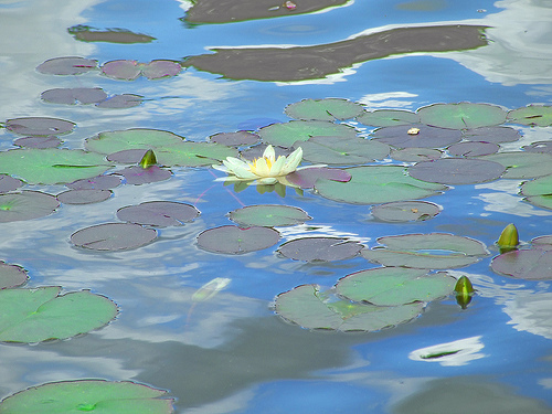 Waterlilies reflection