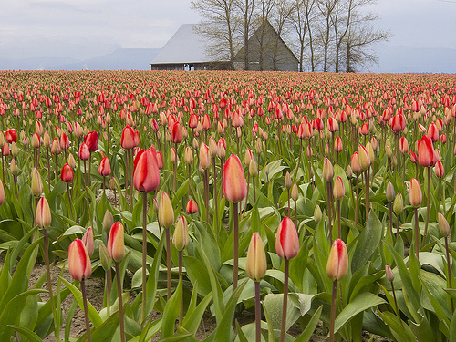 red tulips and barn